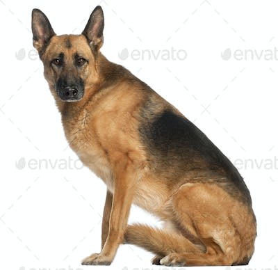 German Shepherd Dog, 8 and a half years old, sitting in front of white background
