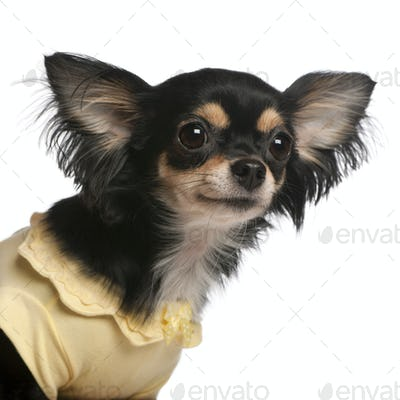 Close-up of Chihuahua, 3 years old, in front of white background