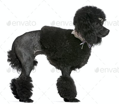 Black groomed Poodle, 2 years old, standing in front of white background