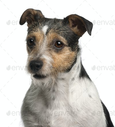 Close-up of Jack Russell Terrier, 4 years old, in front of white background