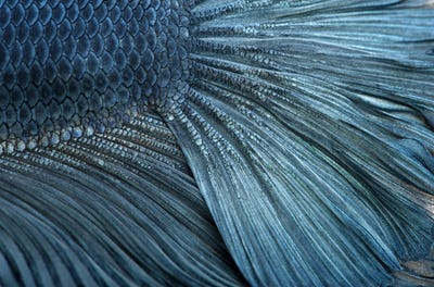 Close-up of Blue Siamese fighting fish, Betta Splendens