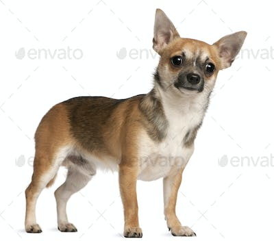 Chihuahua, 10 months old, standing in front of white background