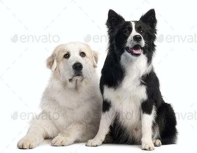 Great Pyrenees, 6 years old, and Border Collie, 2 years old, in front of white background