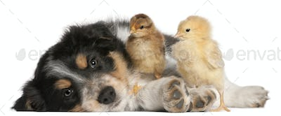Border Collie puppy, 6 weeks old, playing with chicks in front of white background