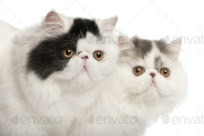Persian cats, 6 months old, in front of white background