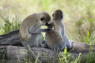 Vervet Monkeys, Chlorocebus pygerythrus, in Serengeti National Park, Tanzania, Africa