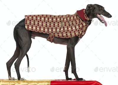 Galgo Espa?±ol, 3 years old, standing on table and wearing coat in front of white background