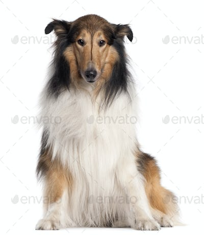 Scotch Collie, 5 years old, sitting in front of white background