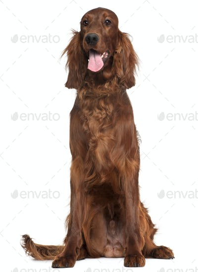 Irish Setter, 1 year old, sitting in front of white background