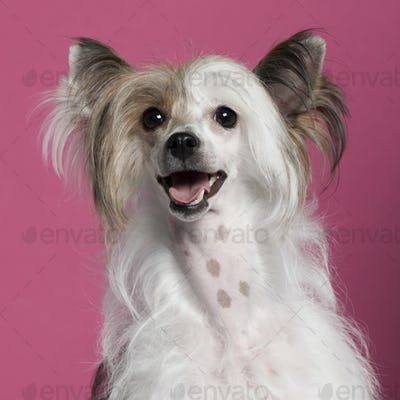 Chinese Crested Dog (2 years old)