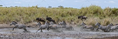 Zebra crossing a river in Serengeti National Park, Tanzania, Africa