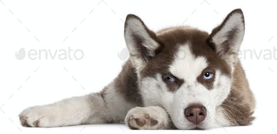 Siberian Husky puppy, 5 months old, lying in front of white background