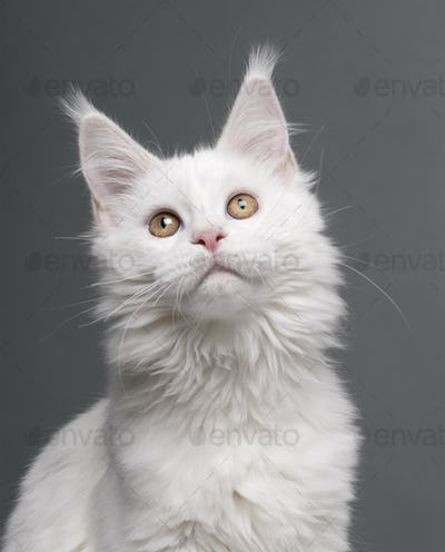 Maine Coon (5 months old)