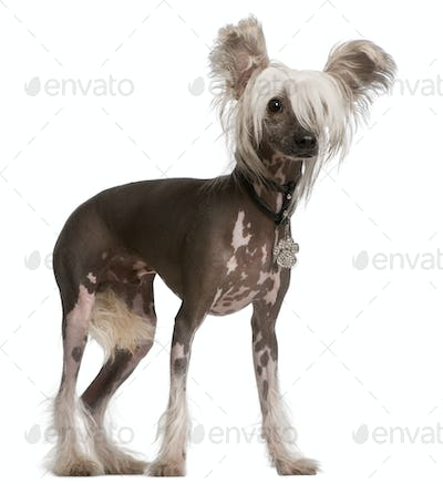 Chinese Crested Dog, 10 months old, standing in front of white background
