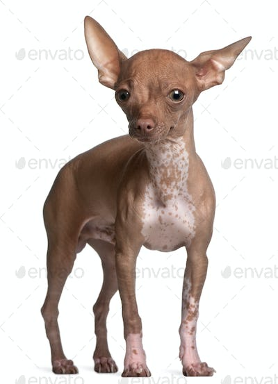 Chihuahua, 6 months old, standing in front of white background