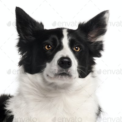 Close-up of Border Collie, 3 years old, in front of white background