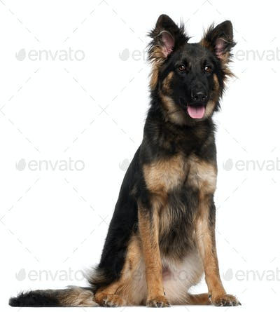 German Shepherd Dog, 8 months old, sitting in front of white background