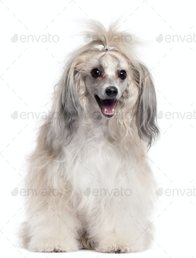 Chinese Crested Dog, 3 years old, in front of white background