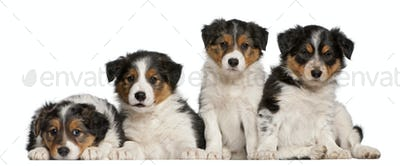 Border Collie puppies, 6 weeks old, in front of white background