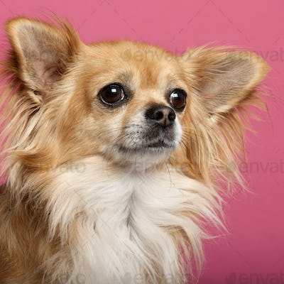 Close-up of Chihuahua in front of pink background