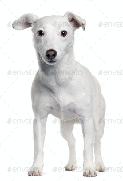 Jack Russell Terrier, 5 years old, standing in front of white background