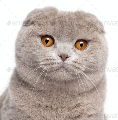 Close-up of Scottish Fold cat, 9 and a half months old, in front of white background