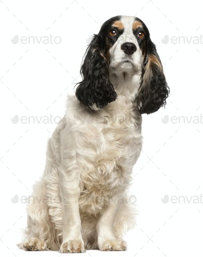 English Cocker Spaniel, 6 years old, sitting in front of white background