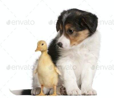 Border Collie puppy, 6 weeks old, playing with a duckling, 1 week old, in front of white background