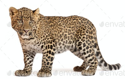 Leopard, Panthera pardus, 6 months old, standing in front of white background