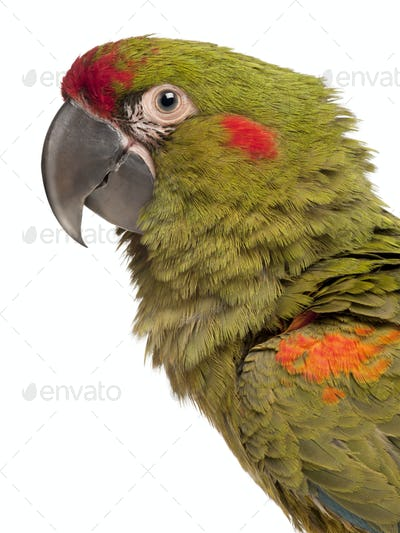 Close-up of Red-fronted Macaw, Ara rubrogenys, 6 months old, in front of white background