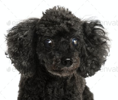 Close-up of half blind Poodle, 13 years old, in front of white background