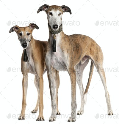 Galgo Espa?±ols, 6 years old and 3 and a half years old, standing in front of white background