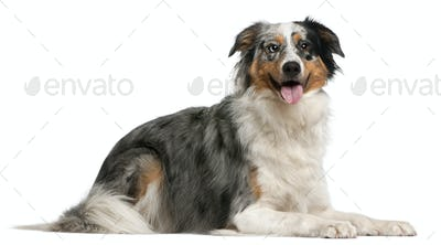 Australian Shepherd dog, 2 years old, lying in front of white background