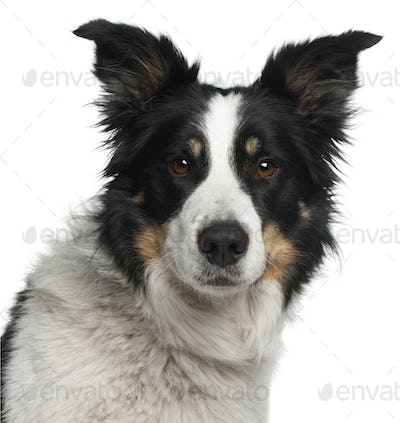 Close-up of Border Collie, 5 and a half years old, in front of white background
