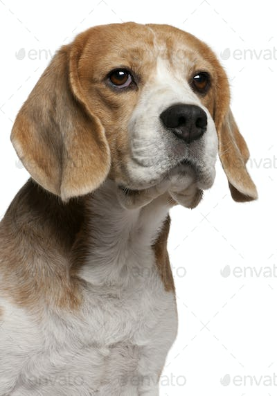 Close-up of Beagle, 8 years old, in front of white background