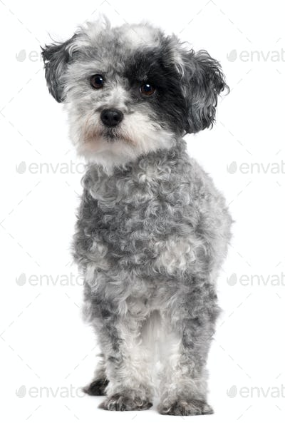 Mixed-breed dog, 5 years old, standing in front of white background