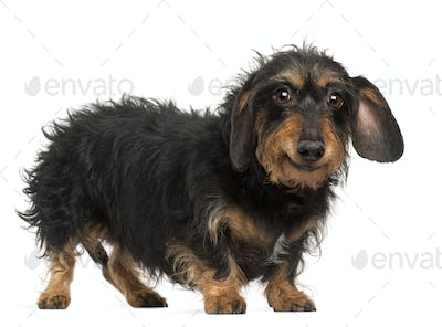 Dachshund, 9 years old, standing in front of white background