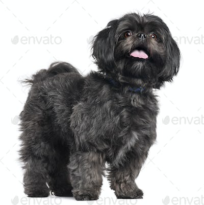 Lhasa Apso, 3 years old, standing in front of white background