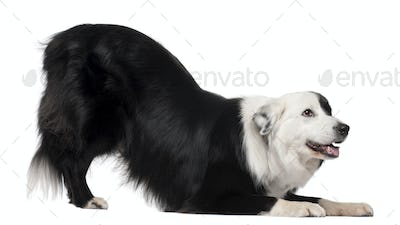 Border Collie, 8 and a half years old, stretching in front of white background