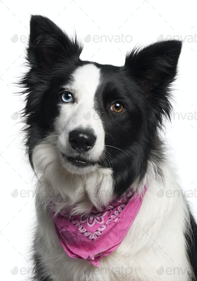 Close-up of Border Collie wearing pink handkerchief, 2 years old, in front of white background