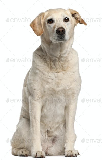 Mixed-breed dog, 12 years old, sitting in front of white background