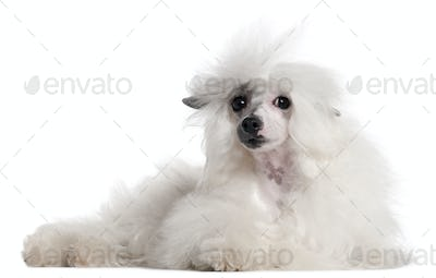 Chinese Crested Dog, 1 year old, lying in front of white background