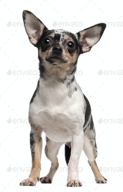 Chihuahua, 1 year old, standing in front of white background