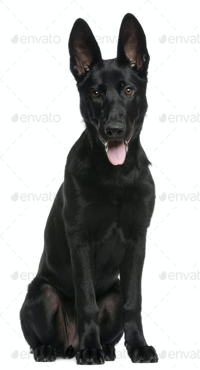 German Shepherd puppy, 5 months old, sitting in front of white background
