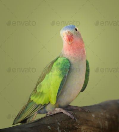 Princess parakeet portrait (1)