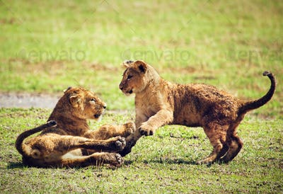 Small lion cubs playing. Tanzania, Africa