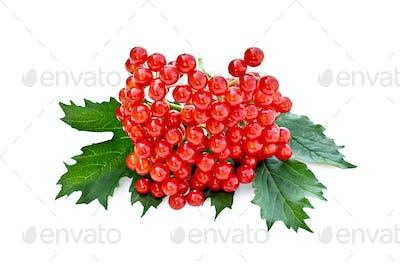 Viburnum red with leaves