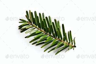 fir branch on white backgound