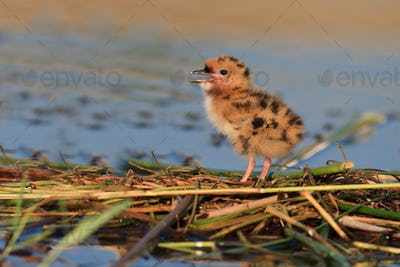 common tern chick on lake