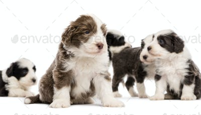 Bearded Collie puppies, 6 weeks old, sitting, lying and standing with focus on the one